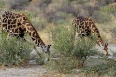 Giraffe-Kalahari