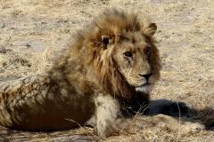 Kalahari-leeuw