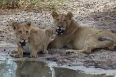 Kalahari-leeuwen