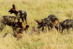 Wild-dogs-Moremi